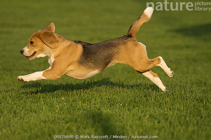 Beagle (Canis familiaris) running, North America  ,  Adult, Beagle, Canis familiaris, Color Image, Day, Domestic Dog, Full Length, Horizontal, Nobody, North America, One Animal, Outdoors, Photography, Running, Side View,Beagle,North America  ,  Mark Raycroft
