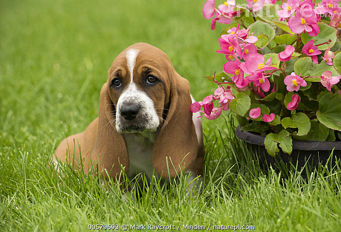 Basset Hound (Canis familiaris) puppy, North America  ,  Baby, Basset Hound, Canis familiaris, Color Image, Day, Domestic Dog, Front View, Full Length, Horizontal, Looking at Camera, Nobody, North America, One Animal, Outdoors, Photography, Puppy, Sad,Basset Hound,North America  ,  Mark Raycroft