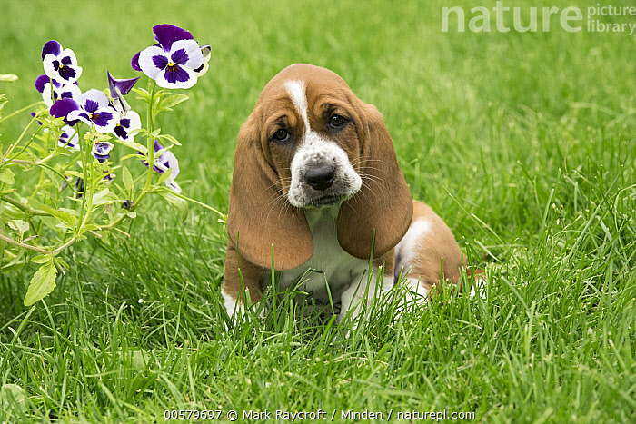 Basset Hound (Canis familiaris) puppy, North America, Baby, Basset Hound, Canis familiaris, Color Image, Day, Domestic Dog, Front View, Full Length, Horizontal, Looking at Camera, Nobody, North America, One Animal, Outdoors, Photography, Puppy,Basset Hound,North America, Mark Raycroft