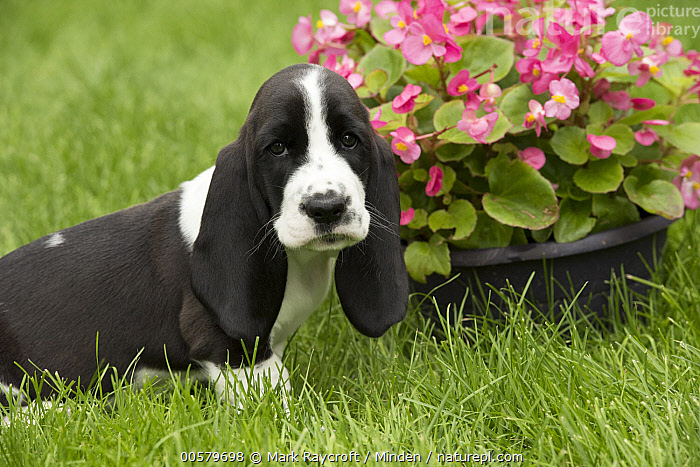 Basset Hound (Canis familiaris) puppy, North America  ,  Baby, Basset Hound, Black And White, Canis familiaris, Color Image, Day, Domestic Dog, Horizontal, Looking at Camera, Nobody, North America, One Animal, Outdoors, Photography, Puppy, Sad, Side View, Waist Up,Basset Hound,North America  ,  Mark Raycroft