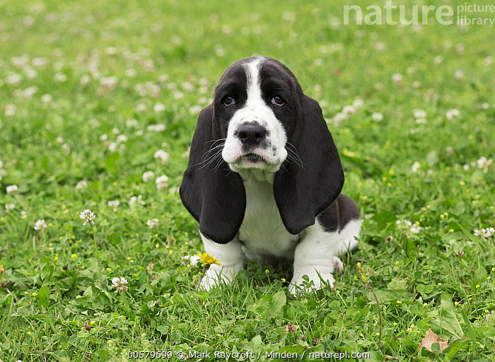Basset Hound (Canis familiaris) puppy, North America  ,  Baby, Basset Hound, Black And White, Canis familiaris, Color Image, Day, Domestic Dog, Emoting, Front View, Full Length, Horizontal, Nobody, North America, One Animal, Outdoors, Photography, Puppy, Sad,Basset Hound,North America  ,  Mark Raycroft