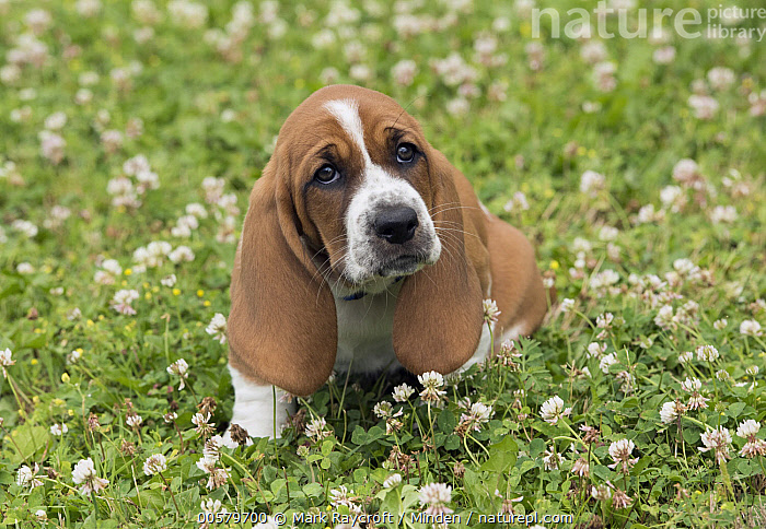 Basset Hound (Canis familiaris) puppy, North America  ,  Baby, Basset Hound, Canis familiaris, Color Image, Day, Domestic Dog, Front View, Full Length, Horizontal, Nobody, North America, One Animal, Outdoors, Photography, Puppy,Basset Hound,North America  ,  Mark Raycroft