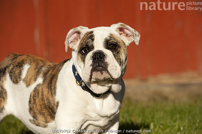 English Bulldog (Canis familiaris) puppy, North America  ,  Baby, Bull, Canis familiaris, Color Image, Day, Domestic Dog, English Bulldog, Horizontal, Looking at Camera, Male, Nobody, North America, One Animal, Outdoors, Photography, Puppy, Side View, Waist Up,English Bulldog,North America  ,  Mark Raycroft