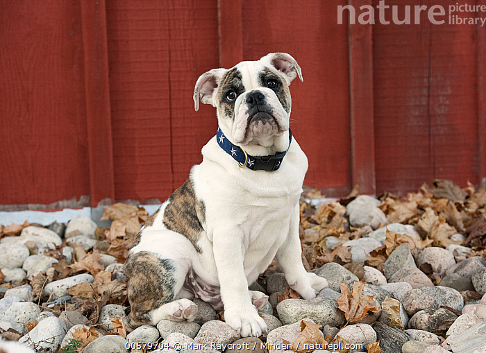 English Bulldog (Canis familiaris) puppy, North America  ,  Baby, Bull, Canis familiaris, Color Image, Day, Domestic Dog, English Bulldog, Full Length, Horizontal, Looking at Camera, Male, Nobody, North America, One Animal, Outdoors, Photography, Puppy, Side View,English Bulldog,North America  ,  Mark Raycroft