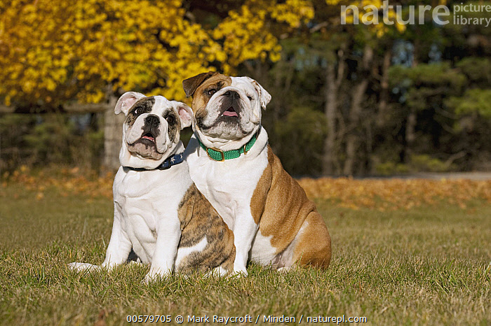 English Bulldog (Canis familiaris) parent with puppy, North America, Adult, Baby, Bull, Canis familiaris, Color Image, Day, Domestic Dog, English Bulldog, Full Length, Horizontal, Looking at Camera, Male, Nobody, North America, Outdoors, Parent, Photography, Puppy, Side View, Two Animals,English Bulldog,North America, Mark Raycroft