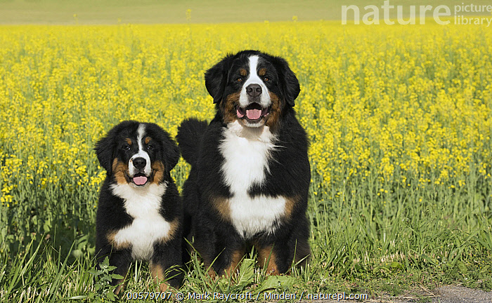 Bernese Mountain Dog (Canis familiaris) parent with puppy, North America  ,  Adult, Baby, Bernese Mountain Dog, Canis familiaris, Color Image, Day, Domestic Dog, Front View, Full Length, Horizontal, Looking at Camera, Nobody, North America, Outdoors, Parent, Photography, Puppy, Tri-color, Two Animals,Bernese Mountain Dog,North America  ,  Mark Raycroft