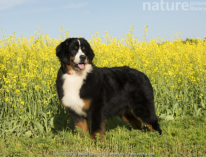 Bernese Mountain Dog (Canis familiaris), North America, Adult, Bernese Mountain Dog, Canis familiaris, Color Image, Day, Domestic Dog, Full Length, Horizontal, Nobody, North America, One Animal, Outdoors, Photography, Side View, Tri Color,Bernese Mountain Dog,North America, Mark Raycroft