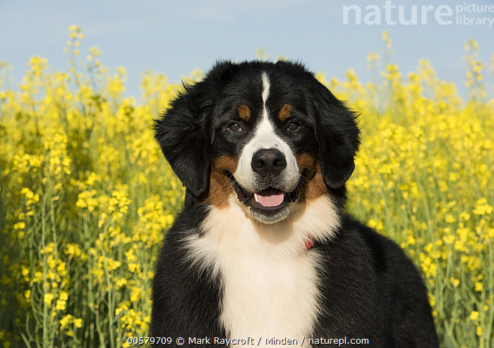 Bernese Mountain Dog (Canis familiaris), North America  ,  Adult, Bernese Mountain Dog, Canis familiaris, Close-up, Color Image, Day, Domestic Dog, Front View, Horizontal, Looking at Camera, Nobody, North America, One Animal, Outdoors, Photography, Tri Color, Waist Up,Bernese Mountain Dog,North America  ,  Mark Raycroft