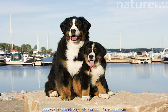 Bernese Mountain Dog (Canis familiaris) parent with puppy, North America  ,  Adult, Baby, Bernese Mountain Dog, Canis familiaris, Color Image, Day, Domestic Dog, Front View, Full Length, Horizontal, Nobody, North America, Outdoors, Parent, Photography, Puppy, Tri Color, Two Animals,Bernese Mountain Dog,North America  ,  Mark Raycroft