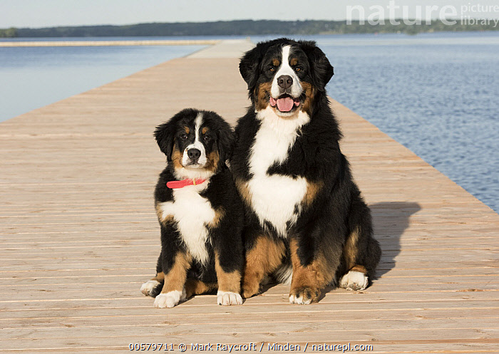 Bernese Mountain Dog (Canis familiaris) parent with puppy, North America, Adult, Baby, Bernese Mountain Dog, Canis familiaris, Color Image, Day, Domestic Dog, Front View, Full Length, Horizontal, Looking at Camera, Nobody, North America, Outdoors, Parent, Photography, Puppy, Tri Color, Two Animals,Bernese Mountain Dog,North America, Mark Raycroft