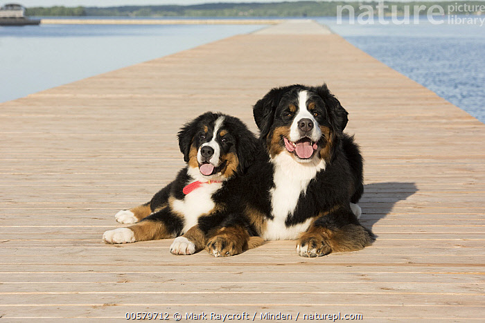 Bernese Mountain Dog (Canis familiaris) parent with puppy, North America  ,  Adult, Baby, Bernese Mountain Dog, Canis familiaris, Color Image, Day, Domestic Dog, Front View, Full Length, Horizontal, Looking at Camera, Nobody, North America, Outdoors, Parent, Photography, Puppy, Tri Color, Two Animals,Bernese Mountain Dog,North America  ,  Mark Raycroft