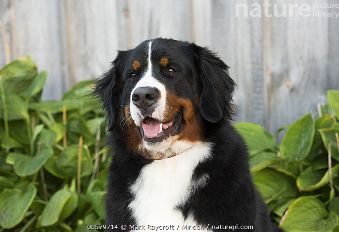 Bernese Mountain Dog (Canis familiaris), North America  ,  Adult, Bernese Mountain Dog, Canis familiaris, Close-up, Color Image, Day, Domestic Dog, Front View, Head and Shoulders, Horizontal, Nobody, North America, One Animal, Outdoors, Photography, Portrait, Tri Color,Bernese Mountain Dog,North America  ,  Mark Raycroft