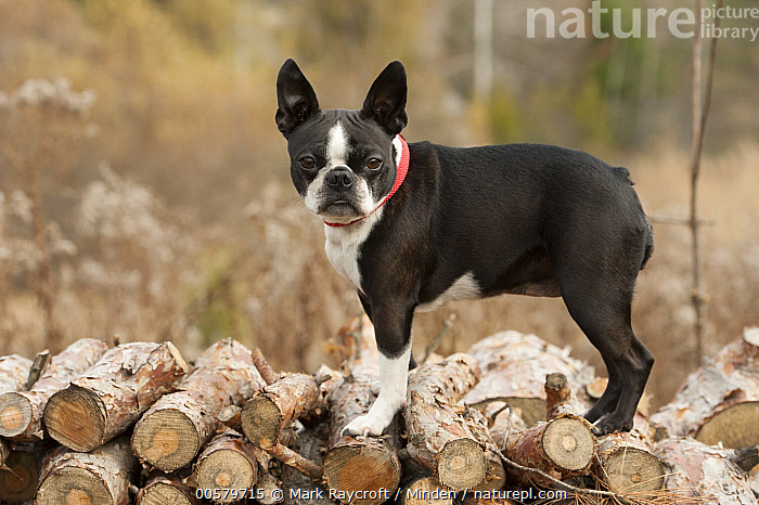 Boston Terrier (Canis familiaris)on woodpile, North America  ,  Adult, Boston Terrier, Canis familiaris, Close-up, Color Image, Day, Domestic Dog, Full Length, Horizontal, Looking at Camera, Nobody, North America, One Animal, Outdoors, Photography, Side View,Boston Terrier,North America  ,  Mark Raycroft