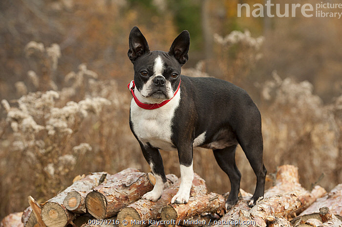 Boston Terrier (Canis familiaris)on woodpile, North America  ,  Adult, Boston Terrier, Canis familiaris, Color Image, Day, Domestic Dog, Full Length, Horizontal, Looking at Camera, Nobody, North America, One Animal, Outdoors, Photography, Side View,Boston Terrier,North America  ,  Mark Raycroft