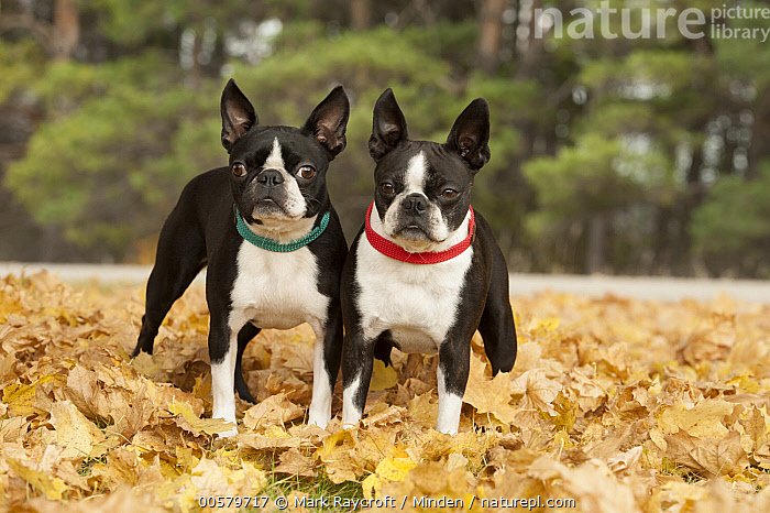 Boston Terrier (Canis familiaris) pair, North America, Adult, Boston Terrier, Canis familiaris, Color Image, Day, Domestic Dog, Front View, Full Length, Horizontal, Looking at Camera, Nobody, North America, Outdoors, Photography, Two Animals,Boston Terrier,North America, Mark Raycroft