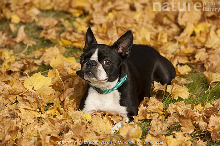 Boston Terrier (Canis familiaris) in autumn, North America  ,  Adult, Boston Terrier, Canis familiaris, Color Image, Day, Domestic Dog, Front View, Full Length, Horizontal, Nobody, North America, One Animal, Outdoors, Photography,Boston Terrier,North America  ,  Mark Raycroft