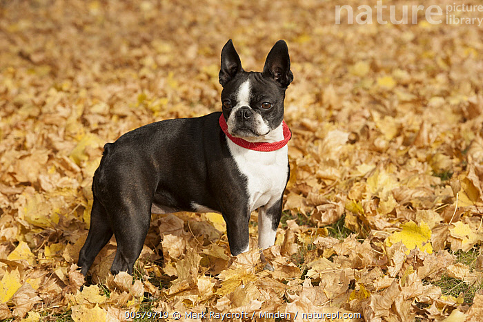 Boston Terrier (Canis familiaris) amid leaves, North America  ,  Adult, Boston Terrier, Canis familiaris, Color Image, Day, Domestic Dog, Full Length, Horizontal, Nobody, North America, One Animal, Outdoors, Photography, Side View,Boston Terrier,North America  ,  Mark Raycroft
