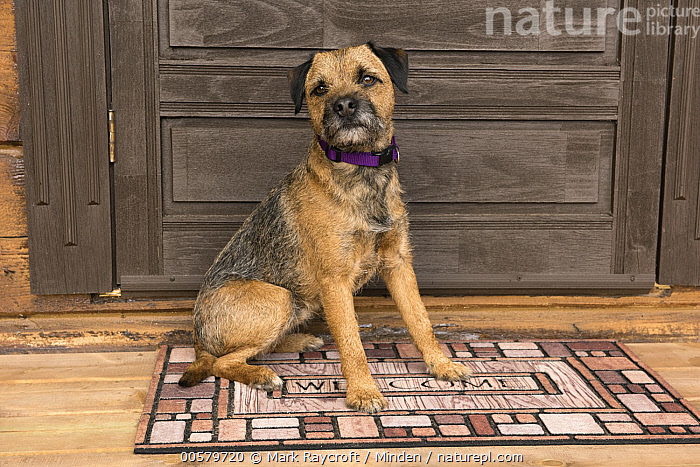 Border Terrier (Canis familiaris)on doormat, North America  ,  Adult, Border Terrier, Canis familiaris, Color Image, Day, Domestic Dog, Full Length, Horizontal, Looking at Camera, Nobody, North America, One Animal, Outdoors, Photography, Side View,Border Terrier,North America  ,  Mark Raycroft