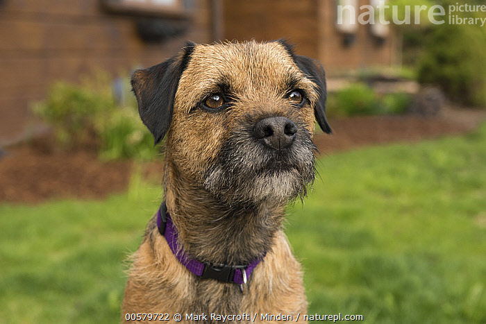 Border Terrier (Canis familiaris), North America  ,  Adult, Border Terrier, Canis familiaris, Close Up, Close-up, Color Image, Day, Domestic Dog, Front View, Head and Shoulders, Horizontal, Nobody, North America, One Animal, Outdoors, Photography, Portrait,Border Terrier,North America  ,  Mark Raycroft