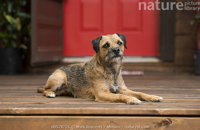 Border Terrier (Canis familiaris), North America  ,  Adult, Border Terrier, Canis familiaris, Color Image, Day, Domestic Dog, Full Length, Horizontal, Nobody, North America, One Animal, Outdoors, Photography, Side View,Border Terrier,North America  ,  Mark Raycroft