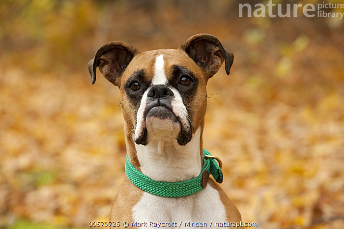 Boxer (Canis familiaris) female, North America, Adult, Boxer, Canis familiaris, Close-up, Color Image, Day, Domestic Dog, Female, Front View, Head and Shoulders, Horizontal, Looking at Camera, Nobody, North America, One Animal, Outdoors, Photography, Portrait,Boxer,North America, Mark Raycroft