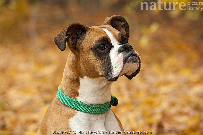 Boxer (Canis familiaris) female, North America, Adult, Boxer, Canis familiaris, Close Up, Color Image, Day, Domestic Dog, Female, Head and Shoulders, Horizontal, Nobody, North America, One Animal, Outdoors, Photography, Portrait, Profile, Side View,Boxer,North America, Mark Raycroft