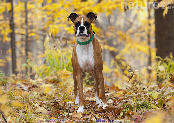 Boxer (Canis familiaris) female, North America  ,  Adult, Boxer, Canis familiaris, Color Image, Day, Domestic Dog, Female, Front View, Full Length, Horizontal, Looking at Camera, Nobody, North America, One Animal, Outdoors, Photography,Boxer,North America  ,  Mark Raycroft
