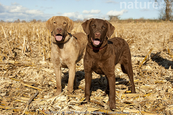 Chesapeake Bay Retriever (Canis familiaris) puppies, North America, Baby, Canis familiaris, Chesapeake Bay Retriever, Color Image, Day, Domestic Dog, Front View, Full Length, Horizontal, Looking at Camera, Nobody, North America, Outdoors, Panting, Photography, Puppy, Two Animals,Chesapeake Bay Retriever,North America, Mark Raycroft