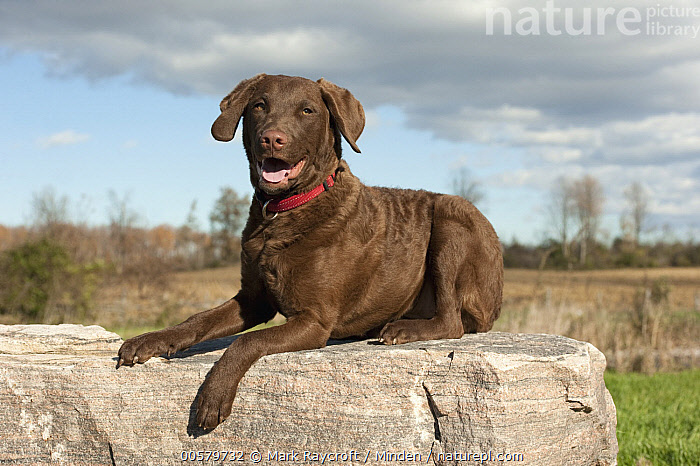 Chesapeake Bay Retriever (Canis familiaris) puppy, North America  ,  Baby, Canis familiaris, Chesapeake Bay Retriever, Color Image, Day, Domestic Dog, Full Length, Horizontal, Looking at Camera, Nobody, North America, One Animal, Outdoors, Photography, Puppy, Side View, Smiling,Chesapeake Bay Retriever,North America  ,  Mark Raycroft