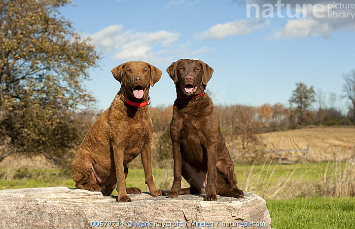 Chesapeake Bay Retriever (Canis familiaris) mother with puppy, North America  ,  Adult, Baby, Canis familiaris, Chesapeake Bay Retriever, Color Image, Day, Domestic Dog, Female, Front View, Full Length, Horizontal, Mother, Nobody, North America, Outdoors, Panting, Parent, Photography, Puppy, Side View, Two Animals,Chesapeake Bay Retriever,North America  ,  Mark Raycroft