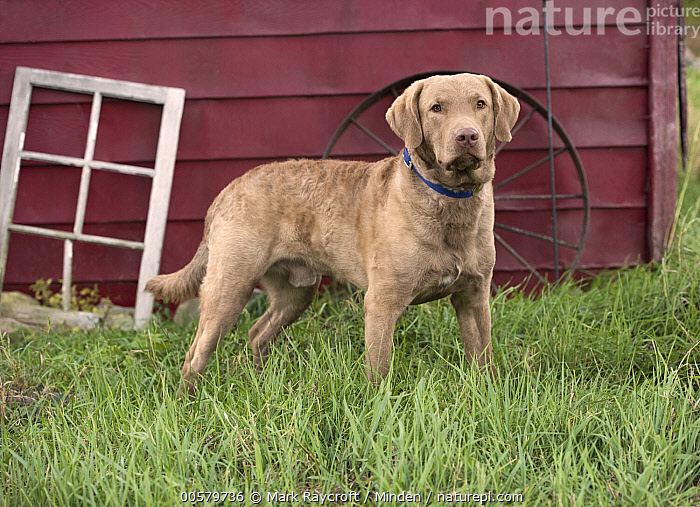Chesapeake Bay Retriever (Canis familiaris) male, North America  ,  Adult, Canis familiaris, Chesapeake Bay Retriever, Color Image, Day, Domestic Dog, Full Length, Horizontal, Male, Nobody, North America, One Animal, Outdoors, Photography, Side View,Chesapeake Bay Retriever,North America  ,  Mark Raycroft