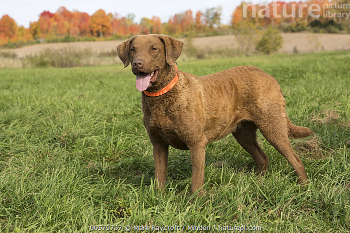 Chesapeake Bay Retriever (Canis familiaris), North America, Adult, Canis familiaris, Chesapeake Bay Retriever, Color Image, Day, Domestic Dog, Full Length, Horizontal, Nobody, North America, One Animal, Outdoors, Panting, Photography, Side View,Chesapeake Bay Retriever,North America, Mark Raycroft