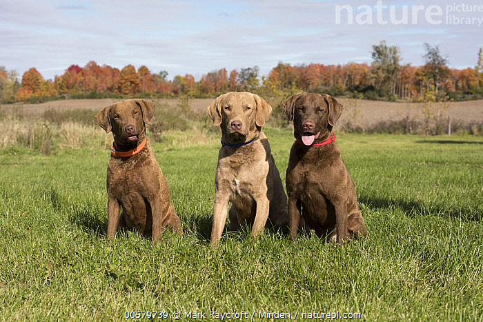 Chesapeake Bay Retriever (Canis familiaris) male and females, North America, Adult, Canis familiaris, Chesapeake Bay Retriever, Color Image, Day, Difference, Domestic Dog, Female, Front View, Full Length, Horizontal, Male, Nobody, North America, Outdoors, Photography, Three Animals,Chesapeake Bay Retriever,North America, Mark Raycroft