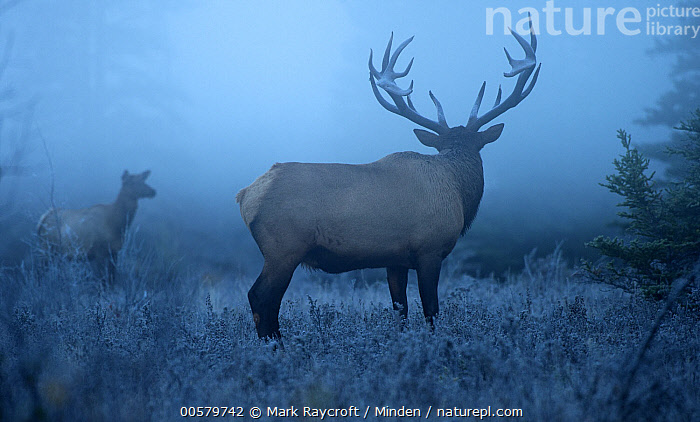 Elk (Cervus elaphus) bull and female in mist, North America, Adult, Bull, Cervus elaphus, Color Image, Day, Dimorphic, Elk, Female, Full Length, Horizontal, Male, Mist, Moody, Nobody, North America, Outdoors, Photography, Sexual Dimorphism, Side View, Two Animals, Wildlife,Elk,North America, Mark Raycroft