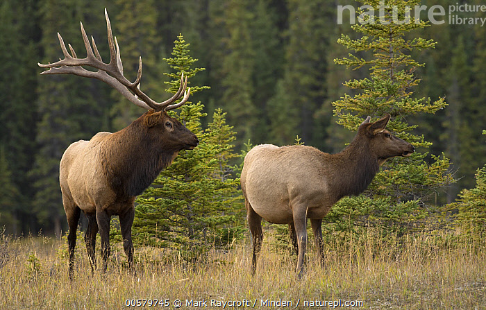 Elk (Cervus elaphus) bull and female, North America  ,  Adult, Bull, Cervus elaphus, Color Image, Day, Dimorphic, Elk, Female, Full Length, Horizontal, Male, Nobody, North America, Outdoors, Photography, Sexual Dimorphism, Side View, Two Animals, Wildlife,Elk,North America  ,  Mark Raycroft