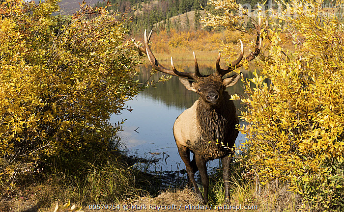 Elk (Cervus elaphus) bull in autumn, North America, Adult, Autumn, Bull, Cervus elaphus, Color Image, Day, Elk, Fall Colors, Front View, Full Length, Horizontal, Looking at Camera, Male, Nobody, North America, One Animal, Outdoors, Photography, Wildlife, Yellow,Elk,North America, Mark Raycroft