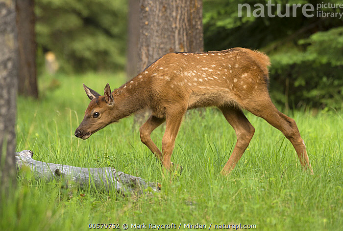 Elk (Cervus elaphus) calf, North America  ,  Baby, Calf, Cervus elaphus, Color Image, Day, Elk, Full Length, Horizontal, Nobody, North America, One Animal, Outdoors, Photography, Side View, Spotted, Wildlife,Elk,North America  ,  Mark Raycroft