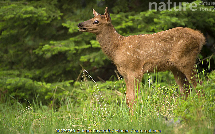 Elk (Cervus elaphus) calf, North America, Baby, Calf, Cervus elaphus, Color Image, Day, Elk, Full Length, Horizontal, Nobody, North America, One Animal, Outdoors, Photography, Side View, Spotted, Wildlife,Elk,North America, Mark Raycroft