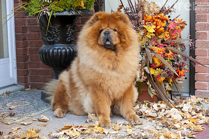 Chow Chow (Canis familiaris), North America  ,  Adult, Canis familiaris, Chow Chow, Color Image, Day, Domestic Dog, Full Length, Horizontal, Looking at Camera, Nobody, North America, One Animal, Outdoors, Photography, Side View,Chow Chow,North America  ,  Mark Raycroft