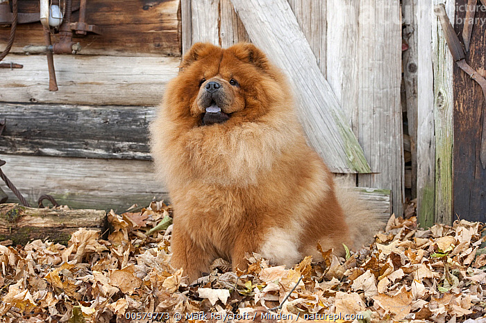 Chow Chow (Canis familiaris), North America  ,  Adult, Canis familiaris, Chow Chow, Color Image, Day, Domestic Dog, Front View, Full Length, Horizontal, Nobody, North America, One Animal, Outdoors, Photography,Chow Chow,North America  ,  Mark Raycroft