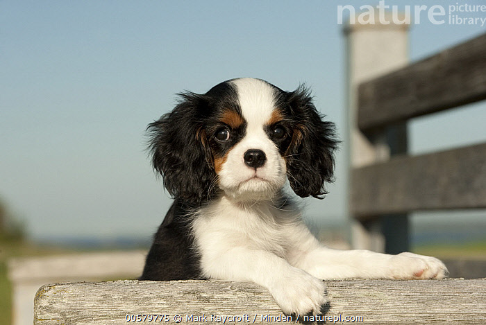 Cavalier King Charles Spaniel (Canis familiaris) puppy, North America, Baby, Canis familiaris, Cavalier King Charles Spaniel, Close Up, Color Image, Cute, Day, Domestic Dog, Horizontal, Looking at Camera, Nobody, North America, One Animal, Outdoors, Photography, Portrait, Puppy, Side View, Tri Color, Waist Up,Cavalier King Charles Spaniel,North America, Mark Raycroft
