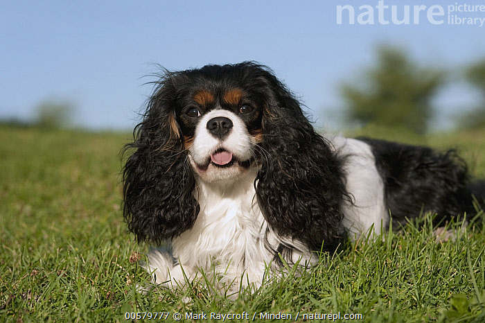 Cavalier King Charles Spaniel (Canis familiaris), North America, Adult, Canis familiaris, Cavalier King Charles Spaniel, Color Image, Day, Domestic Dog, Horizontal, Looking at Camera, Nobody, North America, One Animal, Outdoors, Photography, Side View, Three Quarter Length, Tri Color,Cavalier King Charles Spaniel,North America, Mark Raycroft