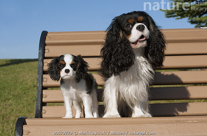 Cavalier King Charles Spaniel (Canis familiaris) parent with puppy, North America  ,  Adult, Baby, Canis familiaris, Cavalier King Charles Spaniel, Color Image, Day, Domestic Dog, Front View, Full Length, Horizontal, Looking at Camera, Nobody, North America, Outdoors, Parent, Photography, Puppy, Tri Color, Two Animals,Cavalier King Charles Spaniel,North America  ,  Mark Raycroft