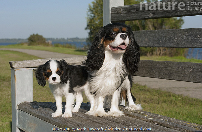 Cavalier King Charles Spaniel (Canis familiaris) parent with puppy, North America  ,  Adult, Baby, Canis familiaris, Cavalier King Charles Spaniel, Color Image, Day, Domestic Dog, Front View, Full Length, Horizontal, Looking at Camera, Nobody, North America, Outdoors, Parent, Photography, Puppy, Side View, Tri Color, Two Animals,Cavalier King Charles Spaniel,North America  ,  Mark Raycroft