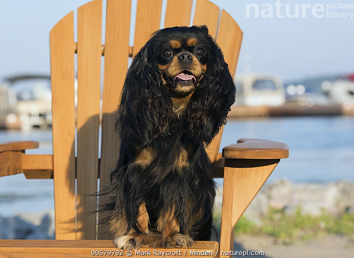 Cavalier King Charles Spaniel (Canis familiaris), North America  ,  Adirondack Chair, Adult, Canis familiaris, Cavalier King Charles Spaniel, Color Image, Day, Domestic Dog, Front View, Full Length, Horizontal, Looking at Camera, Nobody, North America, One Animal, Outdoors, Photography,Cavalier King Charles Spaniel,North America  ,  Mark Raycroft