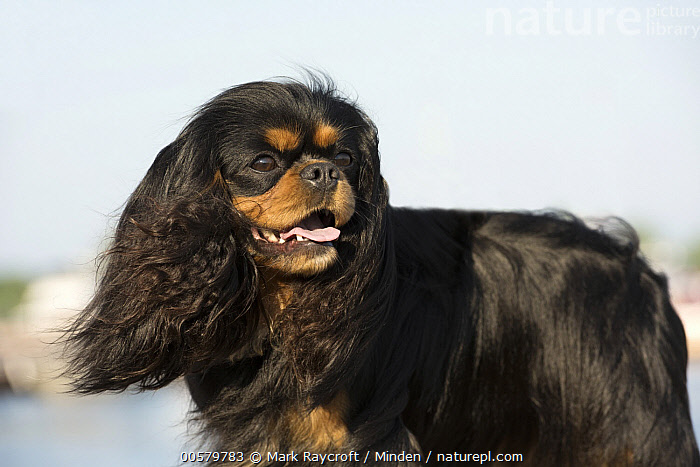 Cavalier King Charles Spaniel (Canis familiaris), North America  ,  Adult, Canis familiaris, Cavalier King Charles Spaniel, Color Image, Day, Domestic Dog, Horizontal, Nobody, North America, One Animal, Outdoors, Photography, Side View, Three Quarter Length,Cavalier King Charles Spaniel,North America  ,  Mark Raycroft