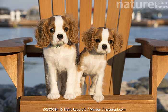 Cavalier King Charles Spaniel (Canis familiaris) puppies, North America  ,  Baby, Canis familiaris, Cavalier King Charles Spaniel, Color Image, Cute, Day, Domestic Dog, Front View, Full Length, Horizontal, Looking at Camera, Nobody, North America, Outdoors, Photography, Puppy, Two Animals,Cavalier King Charles Spaniel,North America  ,  Mark Raycroft