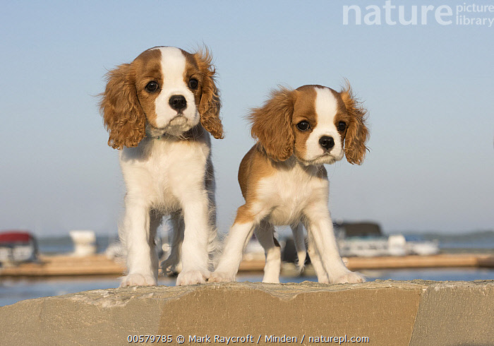 Cavalier King Charles Spaniel (Canis familiaris) puppies, North America, Baby, Canis familiaris, Cavalier King Charles Spaniel, Color Image, Cute, Day, Domestic Dog, Front View, Full Length, Horizontal, Looking at Camera, Nobody, North America, Outdoors, Photography, Puppy, Two Animals,Cavalier King Charles Spaniel,North America, Mark Raycroft