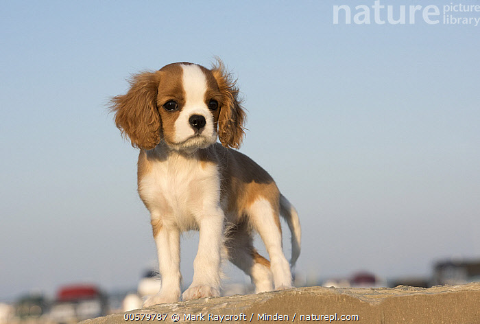 Cavalier King Charles Spaniel (Canis familiaris) puppy, North America  ,  Baby, Canis familiaris, Cavalier King Charles Spaniel, Color Image, Cute, Day, Domestic Dog, Full Length, Horizontal, Looking at Camera, Nobody, North America, One Animal, Outdoors, Photography, Puppy, Side View,Cavalier King Charles Spaniel,North America  ,  Mark Raycroft