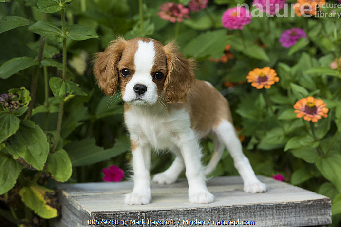 Cavalier King Charles Spaniel (Canis familiaris) puppy, North America, Baby, Canis familiaris, Cavalier King Charles Spaniel, Color Image, Cute, Day, Domestic Dog, Front View, Full Length, Horizontal, Looking at Camera, Nobody, North America, One Animal, Outdoors, Photography, Puppy,Cavalier King Charles Spaniel,North America, Mark Raycroft
